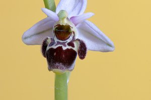 ophrys scolopax,Wild orchid