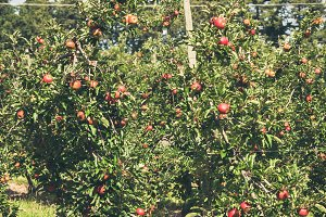 Apple garden full of riped red fruit