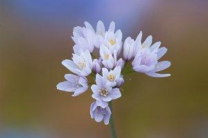 Wild garlic mediterraneam .jpg