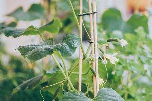 Homegrown cucumber seedling