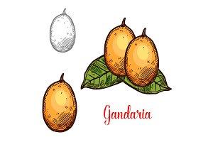 Gandaria vector sketch exotic fruit