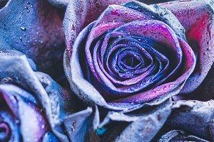 Purple - neon roses