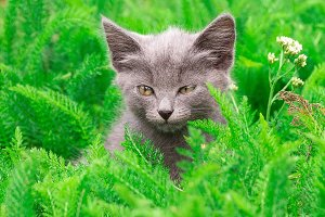 Little gray kitten