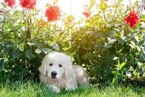 White puppy dog lying on flowers