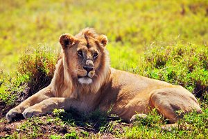 Adult lion lying on african savanna