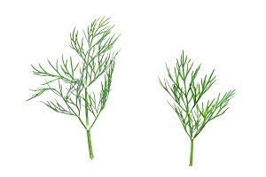 Isolated green dill leaves