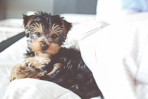 Little Yorkshire terrier in a Bed