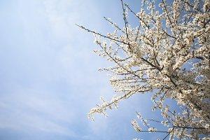 Apple-Tree and Blue Sky #1