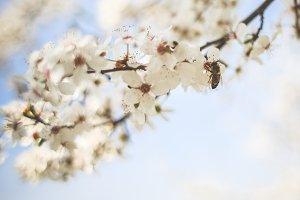 Honey Bee Pollinating an Apple-Tree