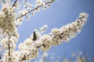 Butterfly on an Apple-Tree