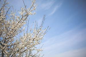 Apple-Tree and Blue Sky #2