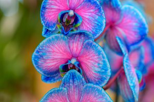 Tinted exhibition orchids III