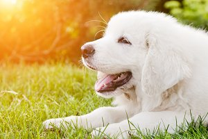White puppy dog lying on grass