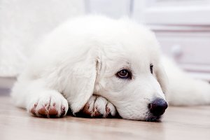 White puppy lying on wooden floor
