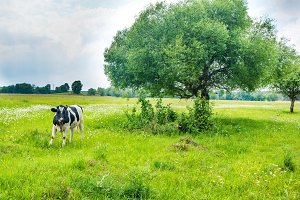 Black cow on the green field