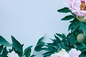 Gently pink flowers peonies in