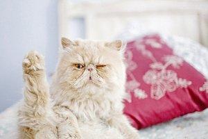Exotic Winking Cat