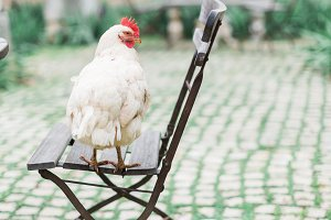 Chicken on a chair