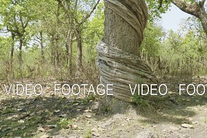 Incredible twisted tree in the