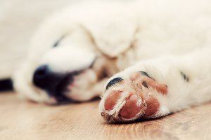 White puppy sleeping on wooden floor