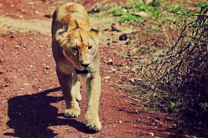 Lioness walking on read soil road