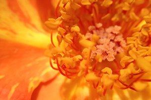 Rose Stamens