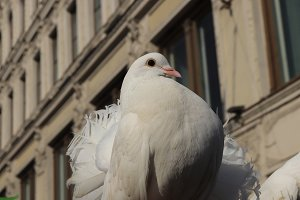 Proud white dove. City bird.