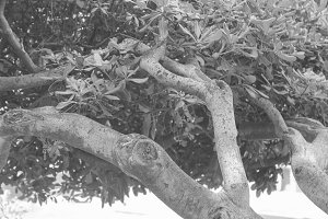 Branch Tree in Black and White