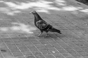 Pigeon in the Floor Black and White