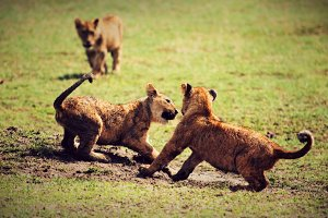 Small lion cubs playing on savannah
