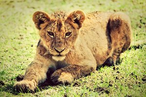 A small lion cub portrait on savanna