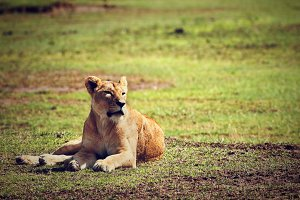 Lioness lying on african savanna