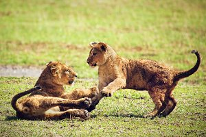 Small lion cubs playing on savanna