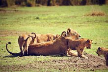 Small lion cubs with mother, Africa