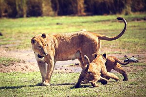 Lioness with her small lion cubs