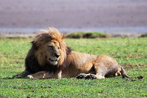 Big adult lion on african savanna
