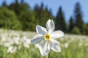 White Daffodils on the meadow
