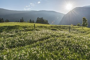 White Daffodils on meadow at Sunrise