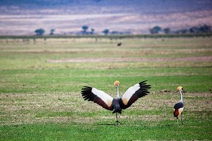 Grey Crowned Crane, Tanzania, Africa