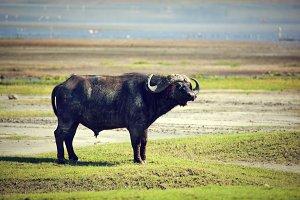 The African buffalo on savanna