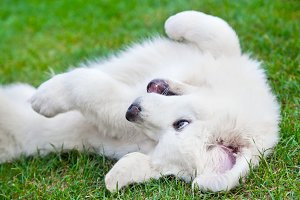 Cute white puppy playing on grass