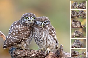 Love is.. Young Little Owl.