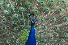 Posing peacock