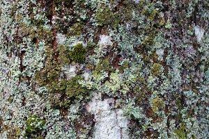 Tree bark texture with lichen