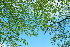 Green canopy of spring tree branches