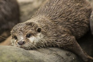 chilling otter
