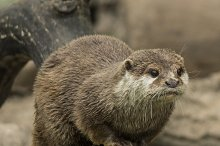 A staring otter