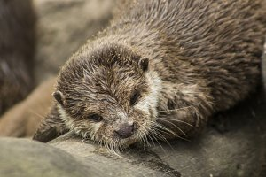 Dreaming otter