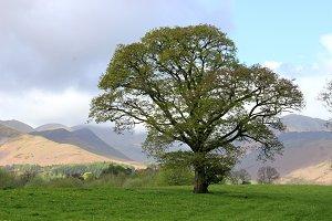 Oak tree at hill side