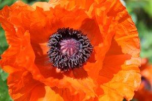 Red Oriental Poppy Close up
